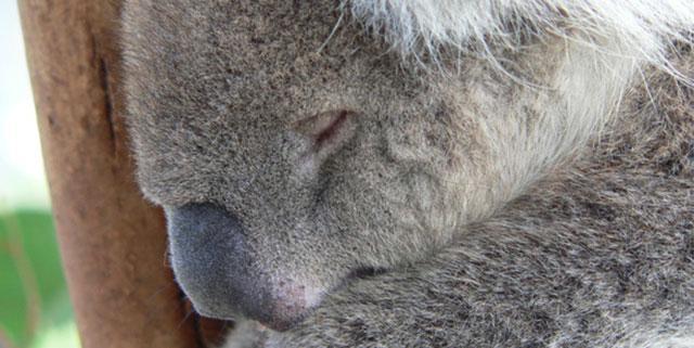 Panda qui dort